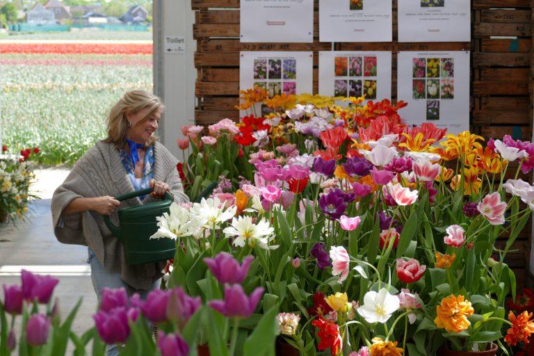 tulpenshowtuin. tulipexperience, rondleidingen, plukbed