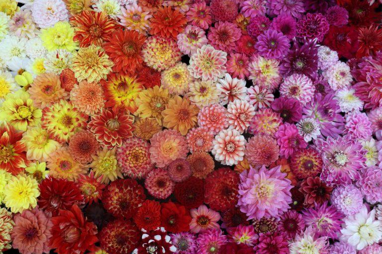 Dahlia kleurenpalet